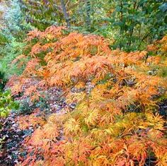 Japanese maple, Acer japonicum 'Green Cascade'