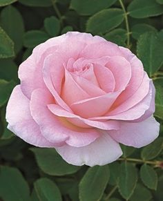 roses - Pink roses - المنتدى - Google+