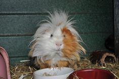 I like my guinea pig. and you?