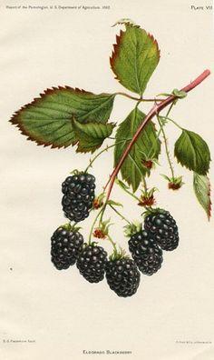 Items similar to Eldorado Blackberry on Etsy Vintage Illustration, Fruit Illustration, Botanical Illustration, Botanical Tattoo, Botanical Drawings, Botanical Art, Vintage Botanical Prints, Vintage Prints, Image Fruit
