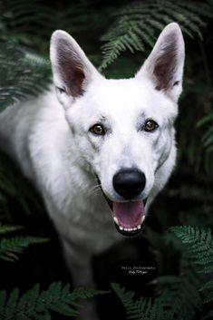 Odin im Farn Weißer Schäfer | Hund | Hundefotografie Schaefer, Dog Photography, Dog Pictures, Husky, Dogs, Animals, Portrait Photography, Wedding Photography, Animales