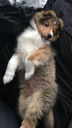 Mac the Sheltie - What a handsome boy! Doggies, Pet Dogs, Dogs And Puppies, Beautiful Dogs, Animals Beautiful, Baby Animals, Cute Animals, Rough Collie, Shetland Sheepdog