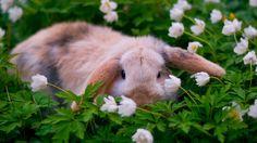 """gardenofgod: """"Lop-Eared Rabbit Among Wood Anemones. """""""