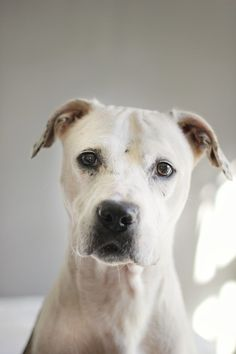 Sugar is an adoptable Dog - Pit Bull Terrier Mix searching for a forever family near Charlotte, NC. Use Petfinder to find adoptable pets in your area.