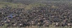 Image result for wildebeest migration