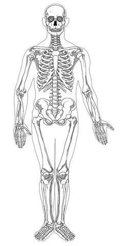 Cc cycle 3 week 2 science axial skeleton the portion of the human human skeleton science coloring page fandeluxe Gallery
