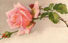 Divided Back Postcard Beautiful Pink Rose Flowers Catherine Klein, Vintage Flowers, Vintage Floral, Flower Prints, Flower Art, Beautiful Pink Roses, Rose Pictures, Rose Art, Arte Floral