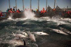 Bluefin tuna killing
