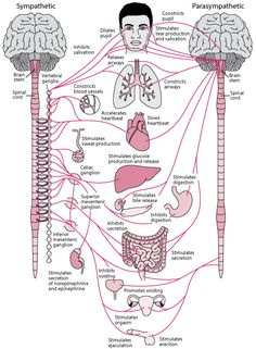 Overview of the Autonomic Nervous System - Brain, Spinal Cord, and Nerve Disorders - Merck Manuals Consumer Version