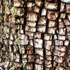 The bark of an ancient female alligator juniper tree (Juniperus deppeana) who reigns over a mountaintop at 7,500 feet in rural Arizona. ~~~~~~ natural pattern, checker bark, scales, forest, nature