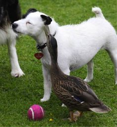 At the Selby Wildlife Rehabilitation Centre , a rehab center for wounded animals, in North Yorkshire, England, Annette Pyrah is surprised at the strange-but-delightful friendship between Skip, her pet terrier, and 50 Pence, the Mallard duck she rescued when it was just a one-day-old chick.