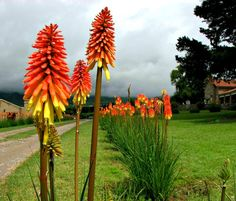 Tritoma kniphofia, Red Hot Poker, 25 seeds, flashy desert bloomer, drought tolerant