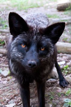 A black fox, I adore these creatures. I adore all creatures and beings of the earth. They are not what many people think. They all deserve love and respect and care. Beautiful Creatures, Animals Beautiful, Animals And Pets, Cute Animals, Baby Animals, Wolf Hybrid, Fennec, Fox Images, Fantastic Fox