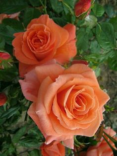 How to Plant Potted Flowers Outdoors in the Soil : Garden Space – Top Soop Beautiful Rose Flowers, Pretty Roses, Amazing Flowers, My Flower, Beautiful Flowers, Orange Flowers, Colorful Flowers, Rosa Rose, Lavender Roses