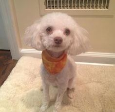 Cooper is an adoptable Poodle Dog in Larchmont, NY. My name is Copper and I'm a 3 year old 6 lb poodle mix. I'm extremely sweet and gentle and love to be with my person a lot. I like gentle kids and o...