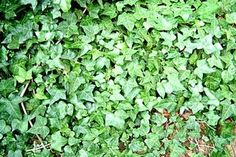 How to Kill English Ivy With Dawn Liquid (5 Steps) | eHow