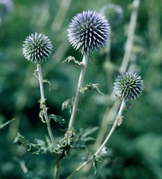 Globe Thistle  One of the best flowers many gardeners have never heard of, globe thistle produces round, metallic-blue flowers though the summer. These flowers are perfect for drying and using in dried-flower projects and other crafts. Plus, it's a cinch to grow!  Name:Echinops'Blue Globe'  Conditions:Full sun and well-drained soil  Size:To 4 feet tall  Zones:4-9  Tips on Growing Globe Thistle