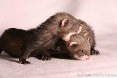 Baby ferrets ❤️