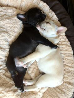 Two little pug puppies sleeping together.. Click on the pic for more #pets