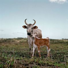 African Scenery & Animals by Daniel Naudé Barnyard Animals, Cute Animals, Wild Animals, Cow Photos, Types Of Animals, Out Of Africa, Animal Paintings, Farm Life, Cattle