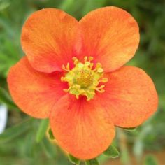Potentilla Fruticosa Orange - RoyalPlant.ro