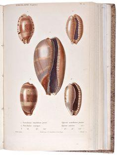 Shells cowrie shells