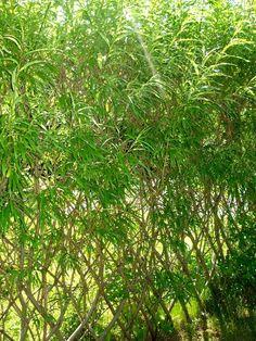Vind-/insynsskydd av flätad pil