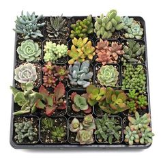 Shop for MCG Soft Succulent Tray - Containers - 25 Varieties Get free delivery On EVERYTHING* Overstock - Your Online Flowers & Plants Outlet Store! 16th Birthday Gifts, Birthday Gifts For Girls, Best Gifts For Her, Gifts For New Moms, Where To Buy Succulents, Succulent Names, Sweet Sixteen Gifts, First Mothers Day Gifts, Bachelorette Party Gifts