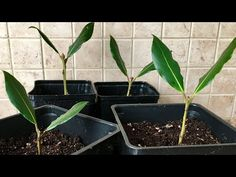 How To Propagate Bay Leaf From Cuttings Bay Leaf Plant, Bay Leaf Tree, Bay Leaves, Tree Leaves, Bay Trees, Spice Garden, Herb Garden, Vegetable Garden, Plant Cuttings