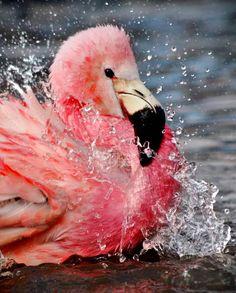 flamingo splashing while swimming