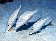 - Deniz balıkları avlama teknikleri