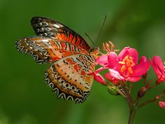 Lace-wing Butterfly feeding on Peregrina flower, Fairchild Tropical Botanic Garden, Miami, FL - Flickr - Photo Sharing!