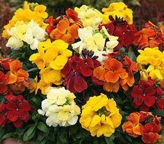 Erysimum cheiri, Cheiranthus cheiri 'Persian Carpet' - E-F - A-Z Botanical Name - Flowers Seeds