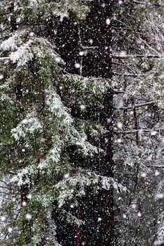Snow falling on Redwoods by Chris Hansen