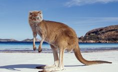 Kangaroo Facts, Worksheets, Habitat, Species & Diet For Kids Wallpapers Wallpapers, Hd Backgrounds, Kangaroo Island, Australian Beach, Australian Animals, Norfolk, Kangaroo Facts, Kangaroo Craft, Kangaroo Baby