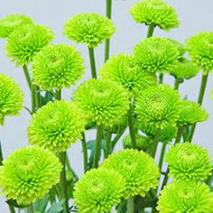 """Yoko Ono Mini Button Pom Green Flower  Bulk Yoko Ono Mini Button Poms are popular spray flowers in the Pompom family. Each stem has an average of 4-7 flowers that are typically less than 1 ¼"""" in diameter. Comprised entirely of mini ray petals, the Button flower head is usually round or slightly crested in shape. This dazzling green Mini Button would serve as a brilliant secondary flower in any table centerpiece, wedding bouquet or flower arrangement."""