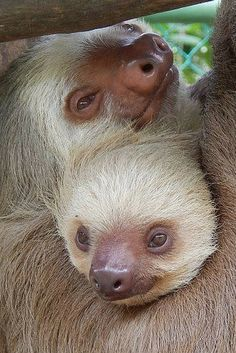 Sloth snuggles are the best snuggles.