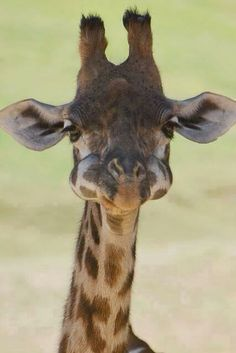 Baby Giraffe with his mouth ...