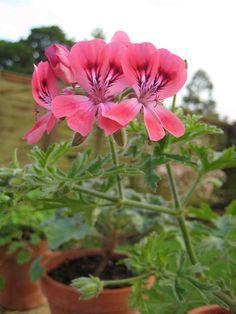 pelargonium 'Lara Starshine'