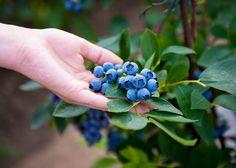 Jak pěstovat borůvku chocholičnatou, známou i jako borůvka kanadská? Organic Gardening, Gardening Tips, Growing Blueberries, Blueberry Plant, Marijuana Plants, Vitamin K, How To Grow Taller, My Secret Garden, Types Of Plants