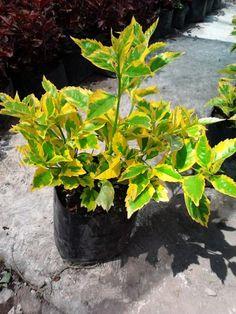 Produccion de duranta cuba y amaranto vivero la flor de for Viveros de plantas de ornato