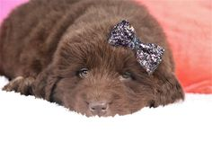Lancaster Puppies pairs Newfoundland dog breeders with great people like you! Find your Newfoundland dog for sale here! Cute Dogs And Puppies, Baby Dogs, Puppies For Sale, Newfoundland Puppies, Cute Puppy Wallpaper, Lancaster Puppies, Miniature Dogs, Cute Funny Dogs, Puppy Breeds