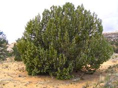 One-Seed Juniper is a member of the Cypress Family