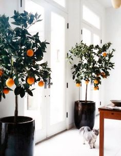Los cítricos pueden cultivarse también en interior y así poder disfrutar de su porte y sus frutos aunque se viva en un clima no apropiado para el cultivo de cítricos en exterior. Sólo hay que segui…