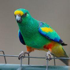 Parrocchetto multicolore - Mulga Parrot -  Psephotus varius