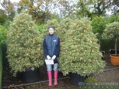Ilex Aquifolim Argentea Marginata Cone - Holly Hedging 120 Litre Pot 180cm