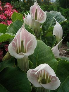 a species of flowering plant in the arum family (Araceae), originating in western China (Tibet, Sichuan, Various English names have been given to the species, including striped cobra lily and Chinese jack- Unusual Flowers, Unusual Plants, All Flowers, Amazing Flowers, Beautiful Flowers, Lilies Flowers, Trees To Plant, Plant Leaves, Calla Lilies