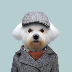 Zoo portraits by Yago Partal, Maltese Dog, Canis Lupus Familiaris