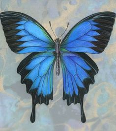 Ulleyus Butterfly by Mindy Lighthipe