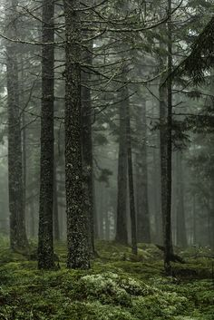 Paysage : Summer Forest Fog
